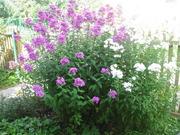 Продам: Флоксы темно розовые и белые , части больших кустов .