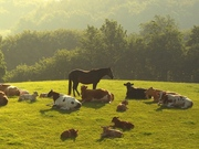 Закупаем коров,  быков ,  лошадей живым и убойным весом . Дорого.