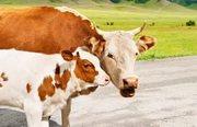 Куплю быков,  коров,  лошадей живым и убойным весом.Дорого